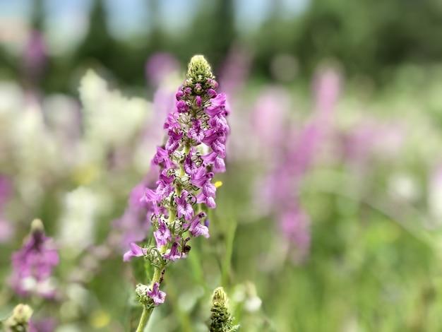 Фиолетовый розовый трава цветы цветут весной выбранный фокус