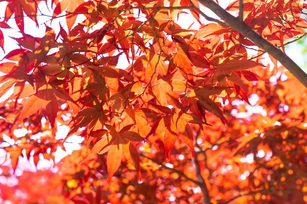 赤いカエデは自然の木に葉します。