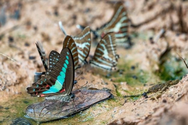 美しい蝶。ミネラルを食べに来て