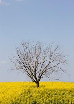 カノラ畑と木