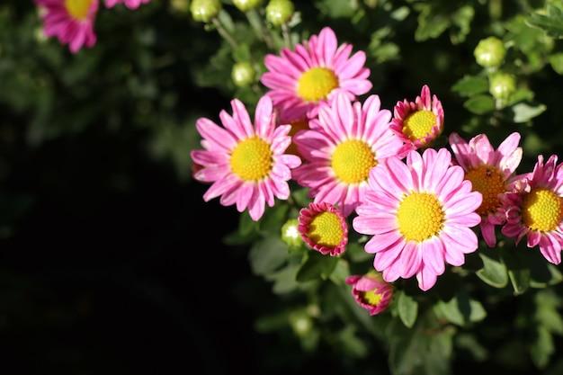 Цветок хризантемы в тропиках