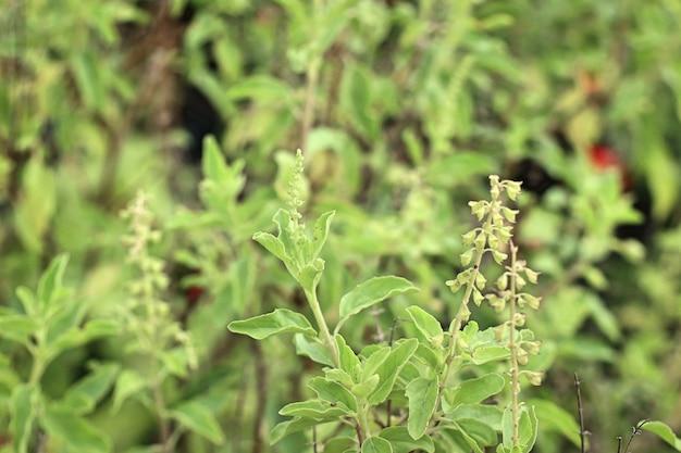庭のバジル植物