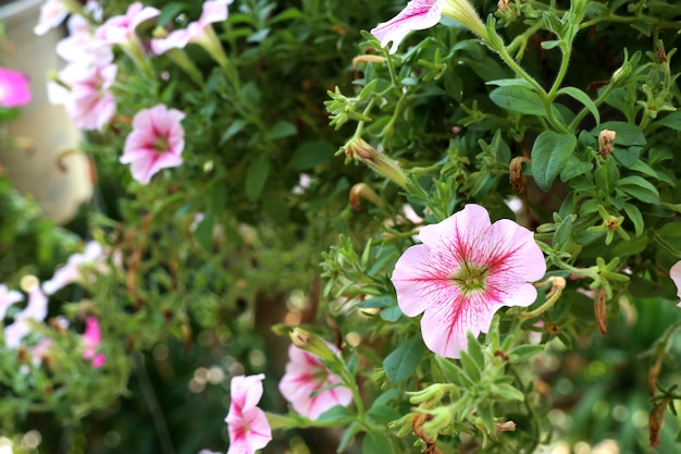 Петуния цветы в тропическом