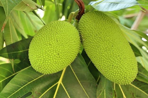 熱帯のブレッドフルーツの木