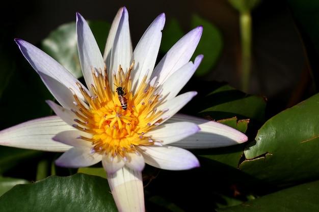 Красивые цветы лотоса в тропическом