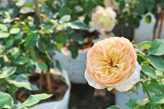 Красивая роза в тропическом