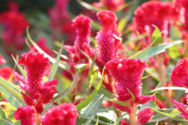 熱帯の鶏の花