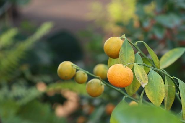 Апельсиновое дерево в саду