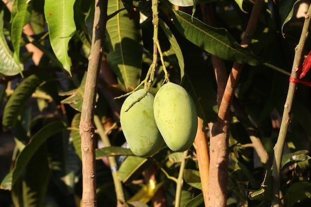 Зеленое органическое манговое дерево