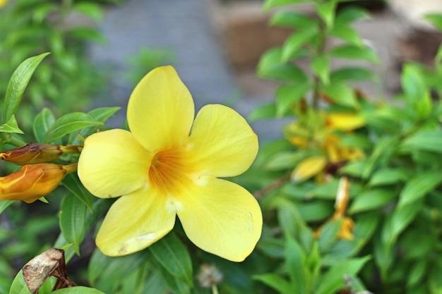 熱帯の黄色い花