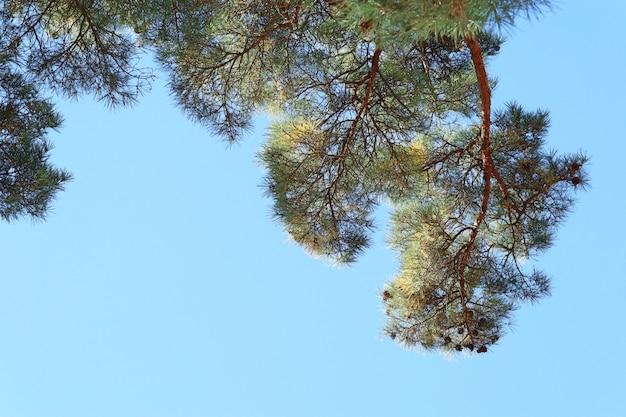 韓国の松の木