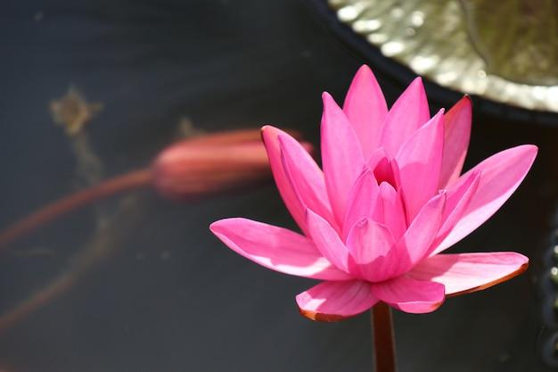 トロピカルピンクの蓮の花