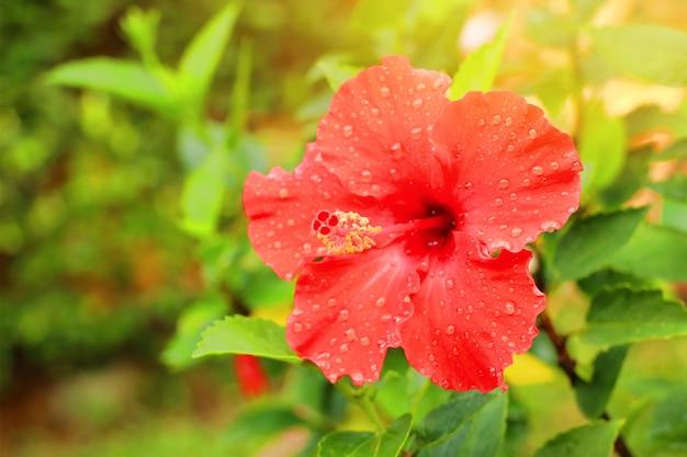 熱帯のハイビスカスの花
