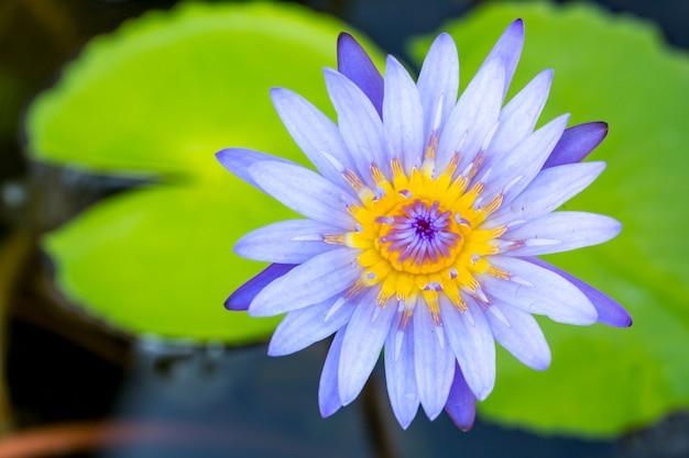 池に咲く蓮の花