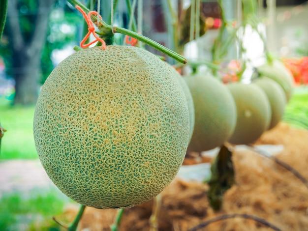 Зеленая дыня или японская дыня канталупа растениеводство выращивают в колхозе.
