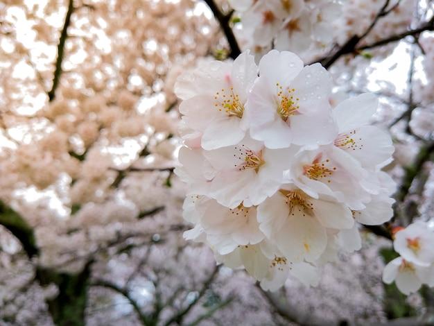 Красивая сакура в полном цвету в сезон в парке, осака, япония
