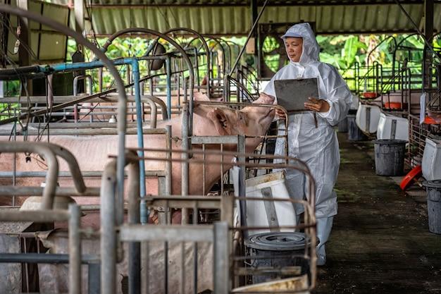 Азиатский ветеринар, работающий и проверяющий большую свинью в свиноводческих хозяйствах, животноводческой и свиноводческой фермерской промышленности