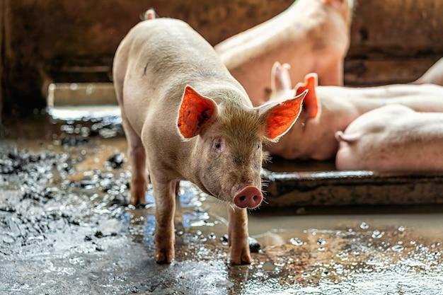 Молодые свиньи в свинофермах, свиноводческая промышленность
