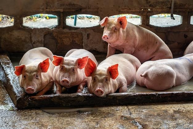養豚場の若い豚、豚産業