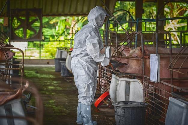 アジアの獣医師が働いて、豚の養殖場、動物、豚の農場で豚の餌を食べる