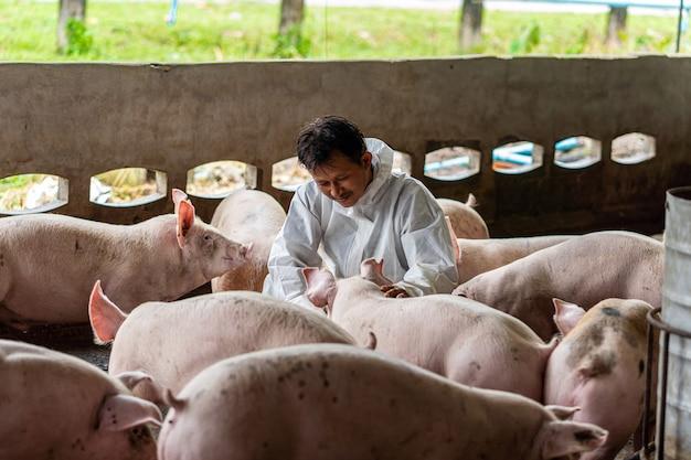 アジアの獣医は、養豚場、動物、養豚場で豚の作業と検査をしています