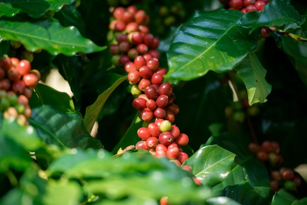 山のコーヒー農園には大きな赤いコーヒー豆があります。