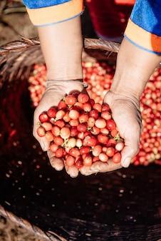 山のコーヒー農園のコーヒー豆には、大きな赤いアラビカ種のコーヒー豆があります。