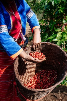 コーヒー農園のコーヒー豆、アラビカ種のコーヒー豆。