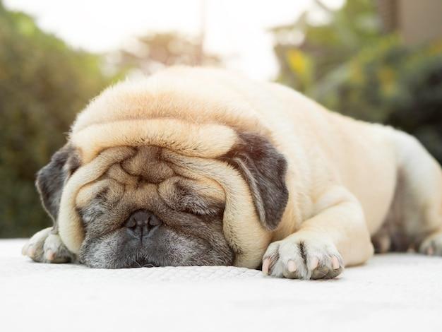 Симпатичная сонная собака-мопс