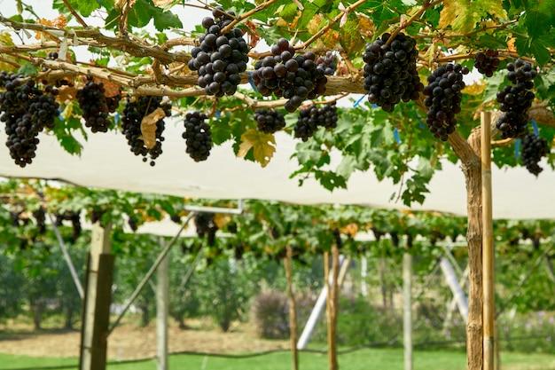 Природа фон открытый виноградники на закате
