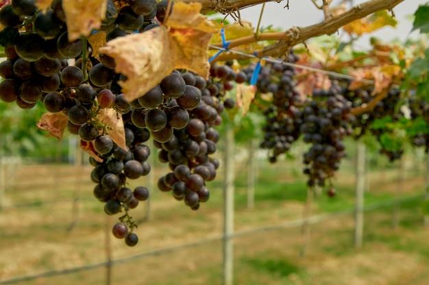 Виноградный плод крупным планом солнечный свет