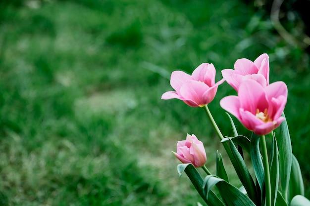 Розовые тюльпаны в садовой природе