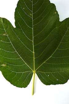 白い背景にイチジクの葉