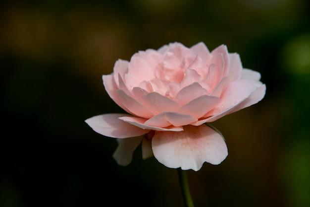 緑のブッシュの夏にピンクのバラ