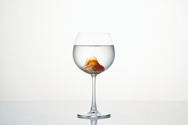 Маленькая золотая рыбка движется в рюмке воды