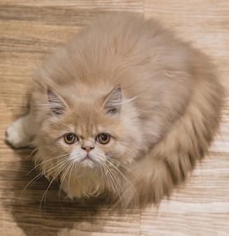 かわいい猫、背景で木製の床に横たわっている猫は、遊び心の上に近くにぼやけて