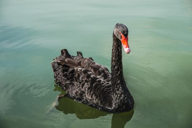 Черный лебедь плавает на воде на прудах. один красивый черный лебедь в тумане в природе.