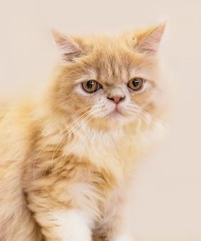 かわいい猫、背景のぼやけた木の床に横たわっている猫は遊び心のあるクローズアップ