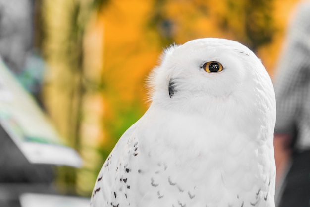 黄色の目で白い雪の多いフクロウのクローズアップの肖像