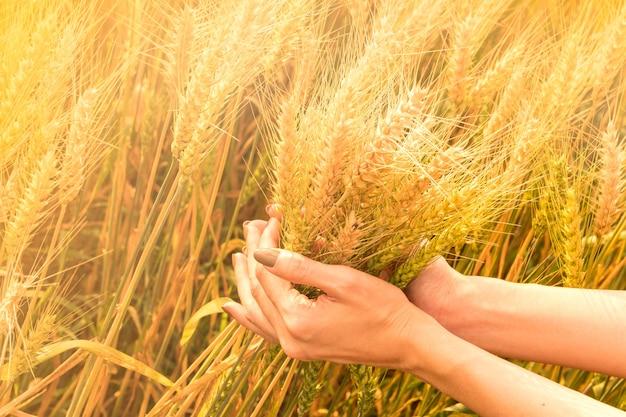 手は金の小麦のフィールドを選択しています。