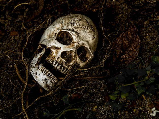 木の根を横にして土に埋められた人間の頭蓋骨の前。