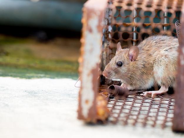 ネズミはケージに入れられてネズミを捕まえ、ネズミは人間に病気を伝染させた