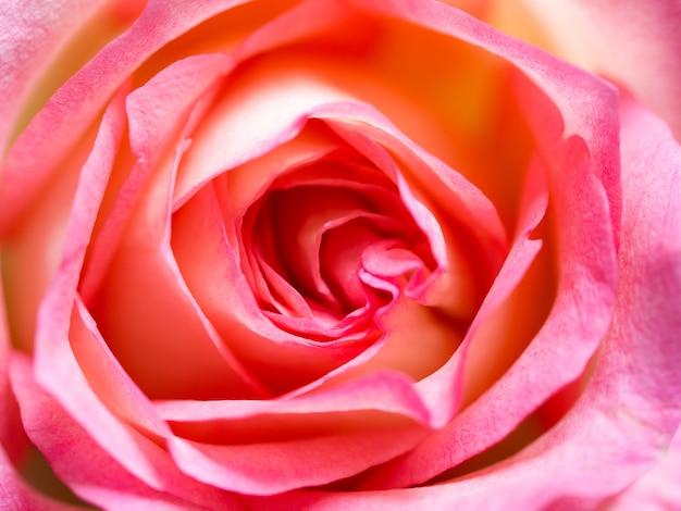 美しいバラの花の背景をクローズアップのソフトぼかしフォーカス。ピンクのバラの花びらのテクスチャ。