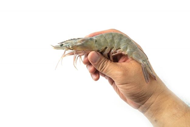男性の手は白い背景の上に新鮮な生太平洋白エビを保持しています。