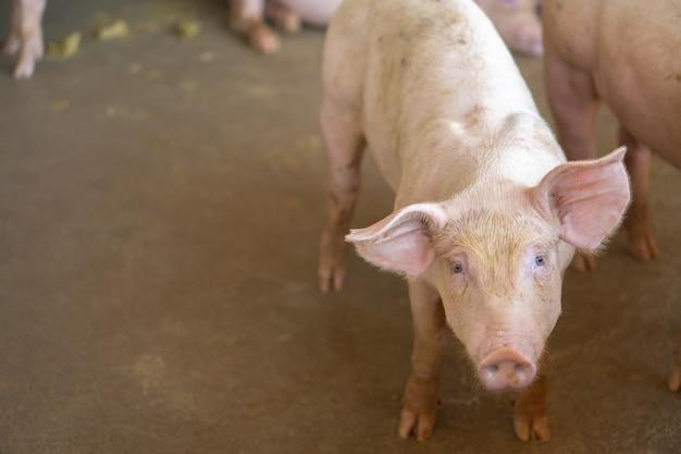 Группа свиньи, которая выглядит здоровой в местной асеан свиноферме на скот.