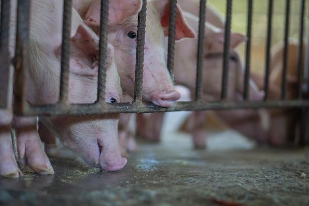 Группа в составе свинья которая выглядит здоровой в свиноводческой ферме на поголовье.
