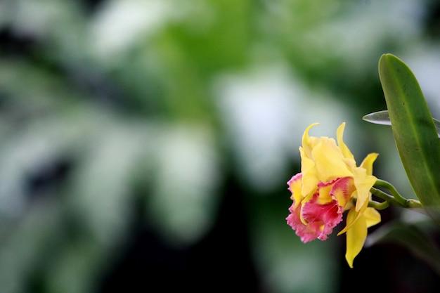 黄色のカトレア蘭、タイの花