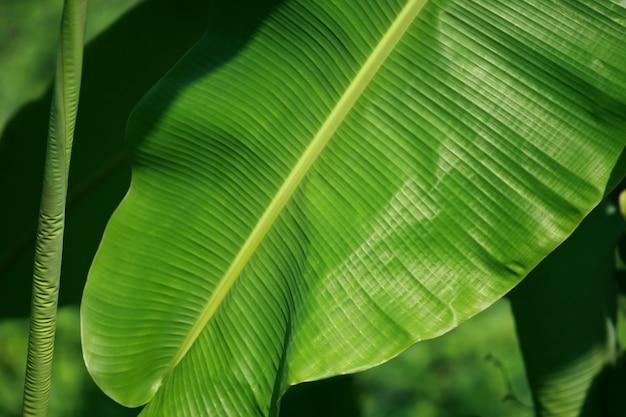 バナナの木に緑のバナナの葉、クローズアップ