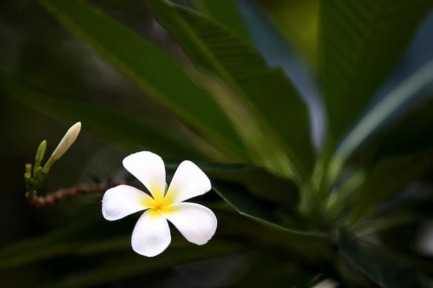 Плюмерия цветок на дереве крупным планом