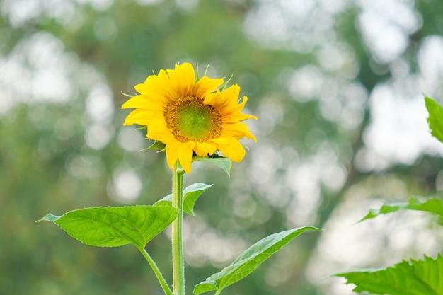 Подсолнух цветет в саду и размытие фона